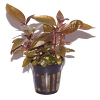 Alternanthera Reineckii Lilacina (purple)