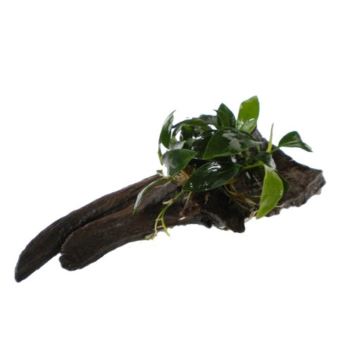 Anubias on javamoss covered wood