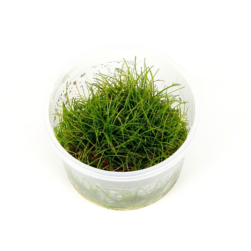 Eleocharis sp 'Mini' 1-2-grow