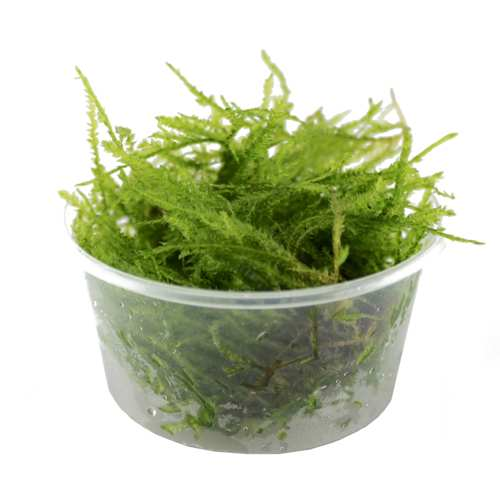 Spikey moss in 80cc cup